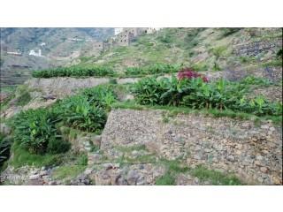 شتلات موز لتزيين حدائق القصور والفلل والإستراحات والمزارع